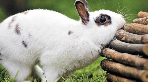 Кролик трется о стенки клетки или кормушки, оставляя свой уникальный запах и таким образом метит территорию