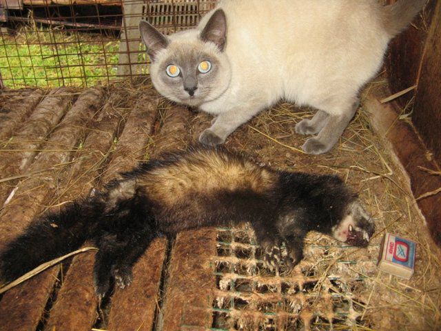 Кот поймал хорька
