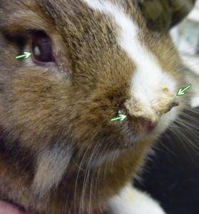 Кролики болеют вирусной геммарагической болезнью