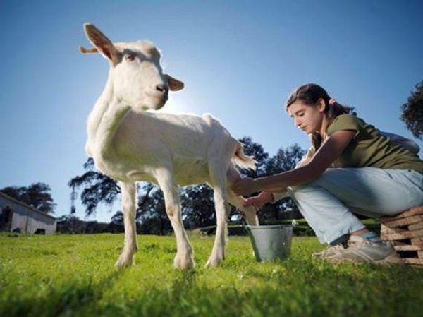 Доение на свежем воздухе поднимет козе настроение