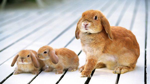 Породистый кролик с поврежденной шерстью все еще способен воспроизводить потомство с высокими показателями здоровья