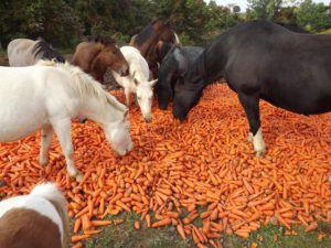 Лошади с удовольствием едят корнеплоды