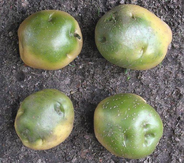 Воздействие солонина на картофель