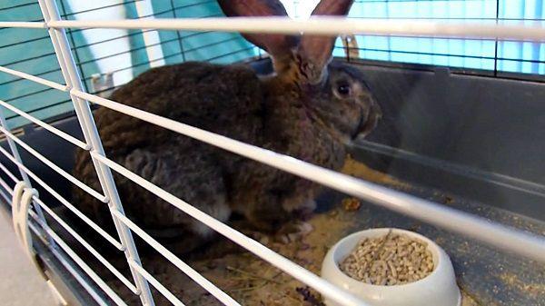 Иногда самки кролика по несколько дней голодают и отсиживаются в клетке