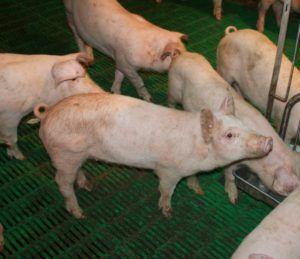 Свинарник с решетчатым полом