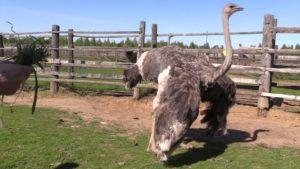 Стоит ли разводить страусов?