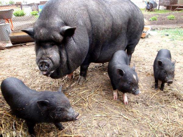 Вьетнамские свиньи достаточно неприхотливы в содержании и кормлении