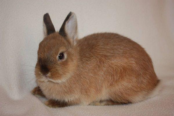 Декоративный кролик отличается от обычного, прежде всего, своими малыми размерами