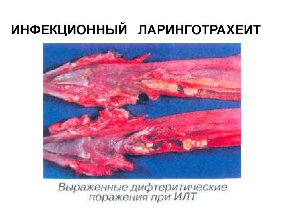 Органы с видимыми признаками поражения подлежат утилизации