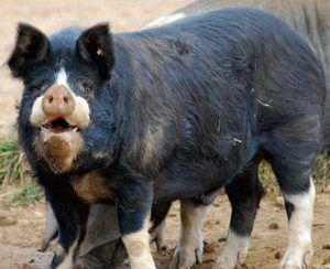 Беркширская черная свинья
