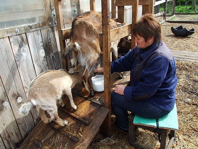 Доение козы с помощью самодельного станка