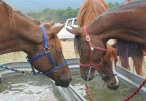 Поение лошадей на выпасе