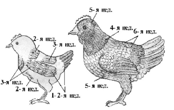 Изменение оперения птенца с течением времени