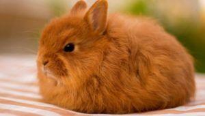 Для кроликов характерна напоминающая лисью, длинная и густая шерсть
