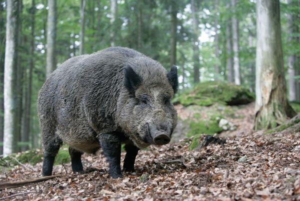 Китайский дикий кабан - предок корейской свиньи
