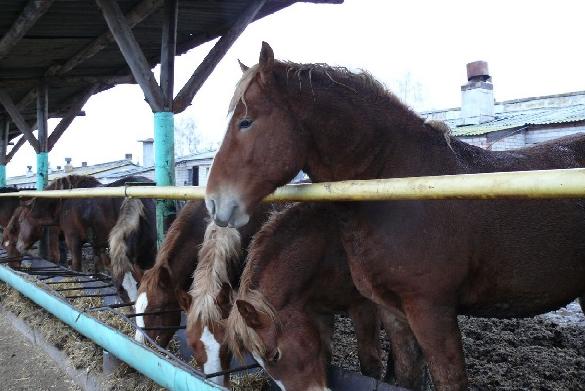 Рацион лошадей нельзя менять слишком резко