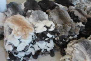 Шкуры рексов ценятся на рынке и за свою бархатистость, и за возможность выдать их за мех шиншиллы или бобра
