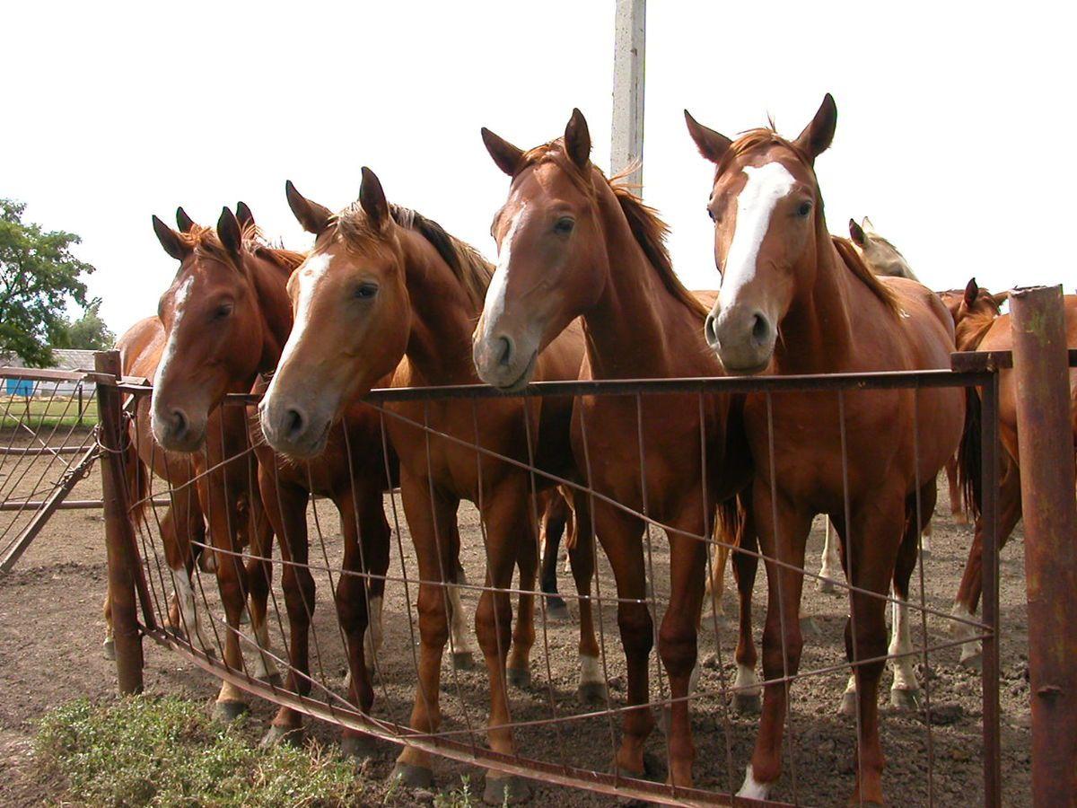 Спортивные буденновские лошади
