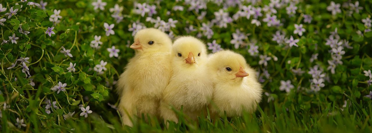 Цыплята бройлерных кур