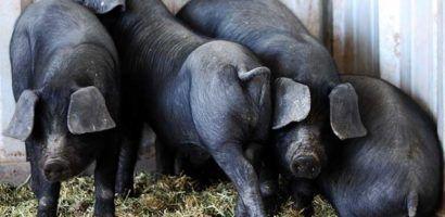 Крупные черные свиньи — универсальная порода мясо-сального направления