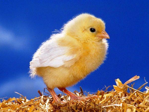 Суточный цыпленок в гнезде