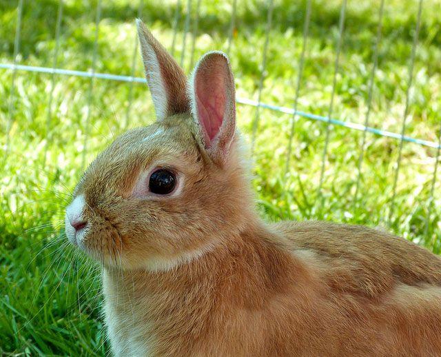 Декоративный кролик в летнем вольере