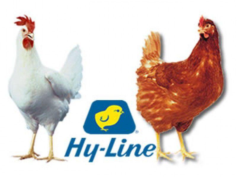 Хай-Лайн является гибридной породой кур