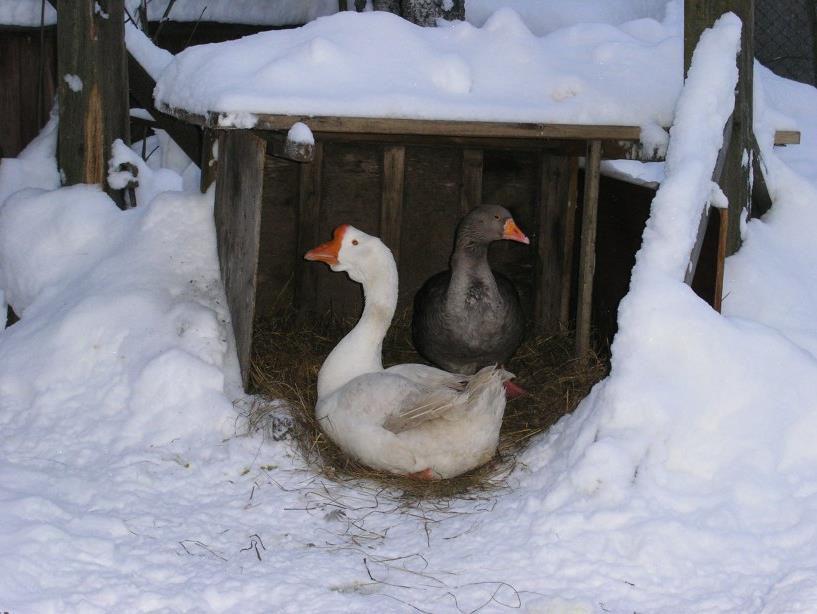 При правильном рационе гуси легко переносят зиму