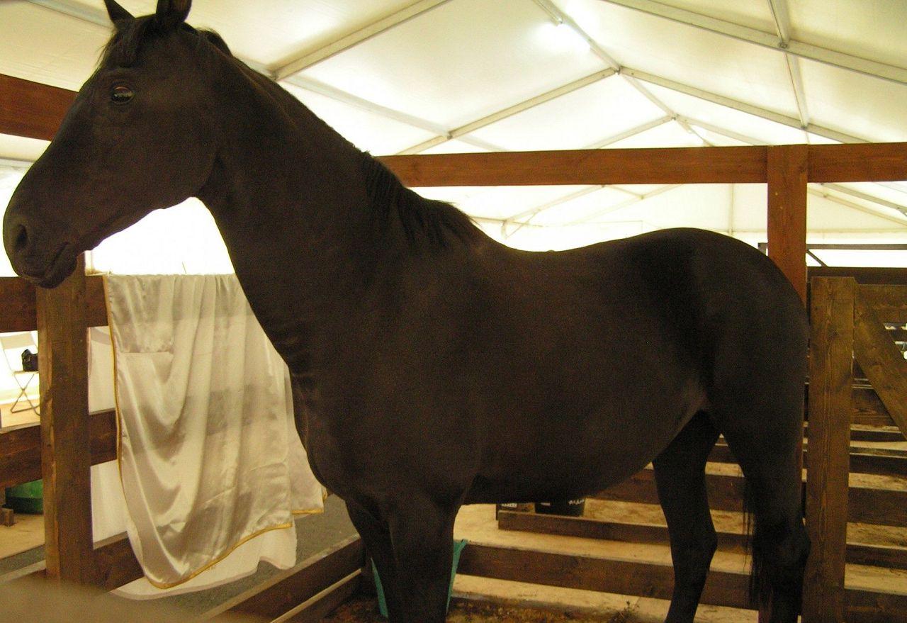 Если нужна лошадь не для спортивных соревнований, то выбраковка голштинской породы хороший вариант в том числе и по цене