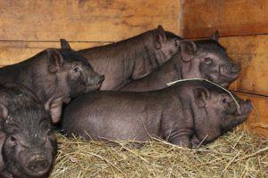 Породу свиней необходимо подбирать с учетом целей разведения и особенностей климатических условий
