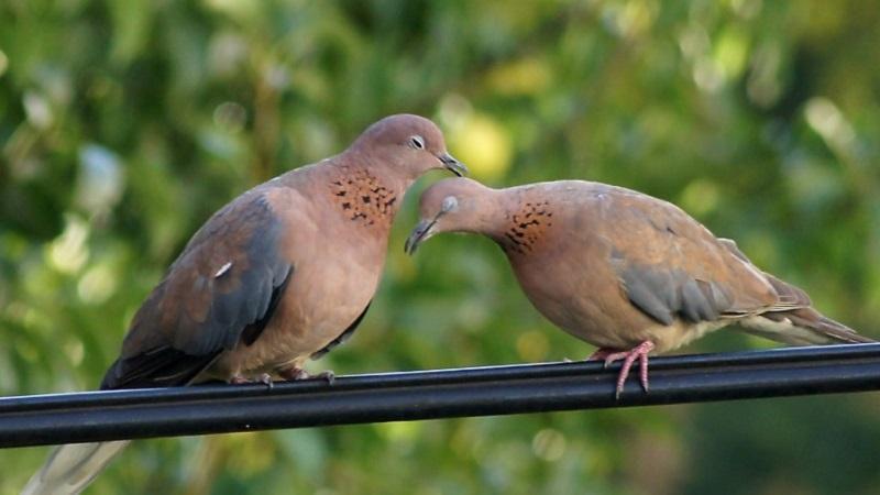 В момент брачных игр горлинки могут перебирать перышки на голову друг у друга