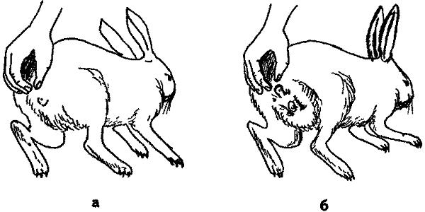 Схематичное изображение различий во внешнем виде гениталий кроликов