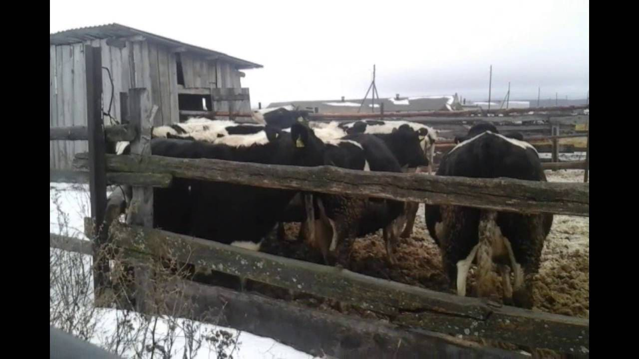Чёрно-пёстрые коровы хорошо переносят холод