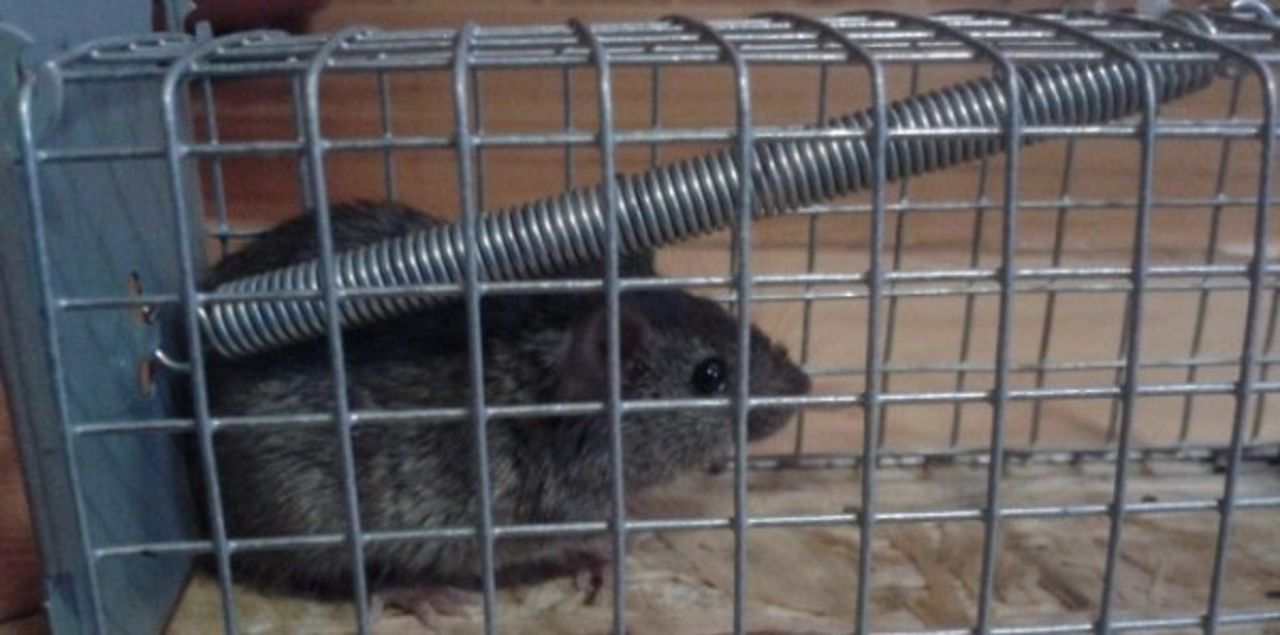 Мышеловка для ловли крыс