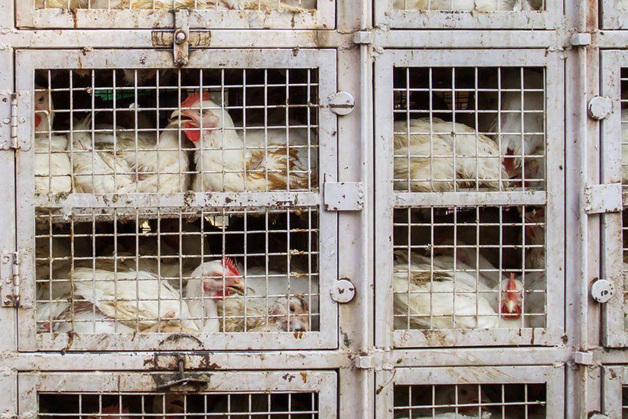 Перегруппировка птиц во время карантина запрещена