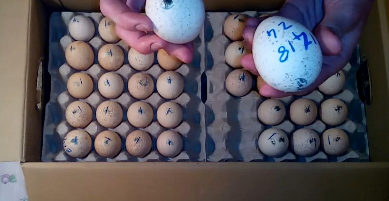 Необходимо сделать отметки на яйцах