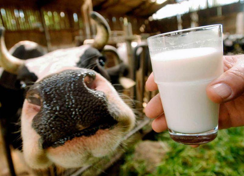 Чёрно-пёстрые коровы дают нежирное молоко