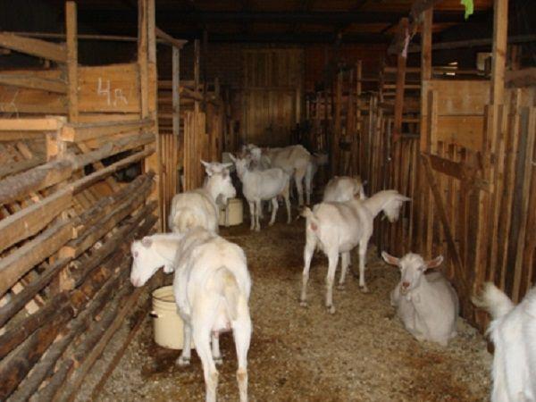Зимой козы обедают внутри своего хлева