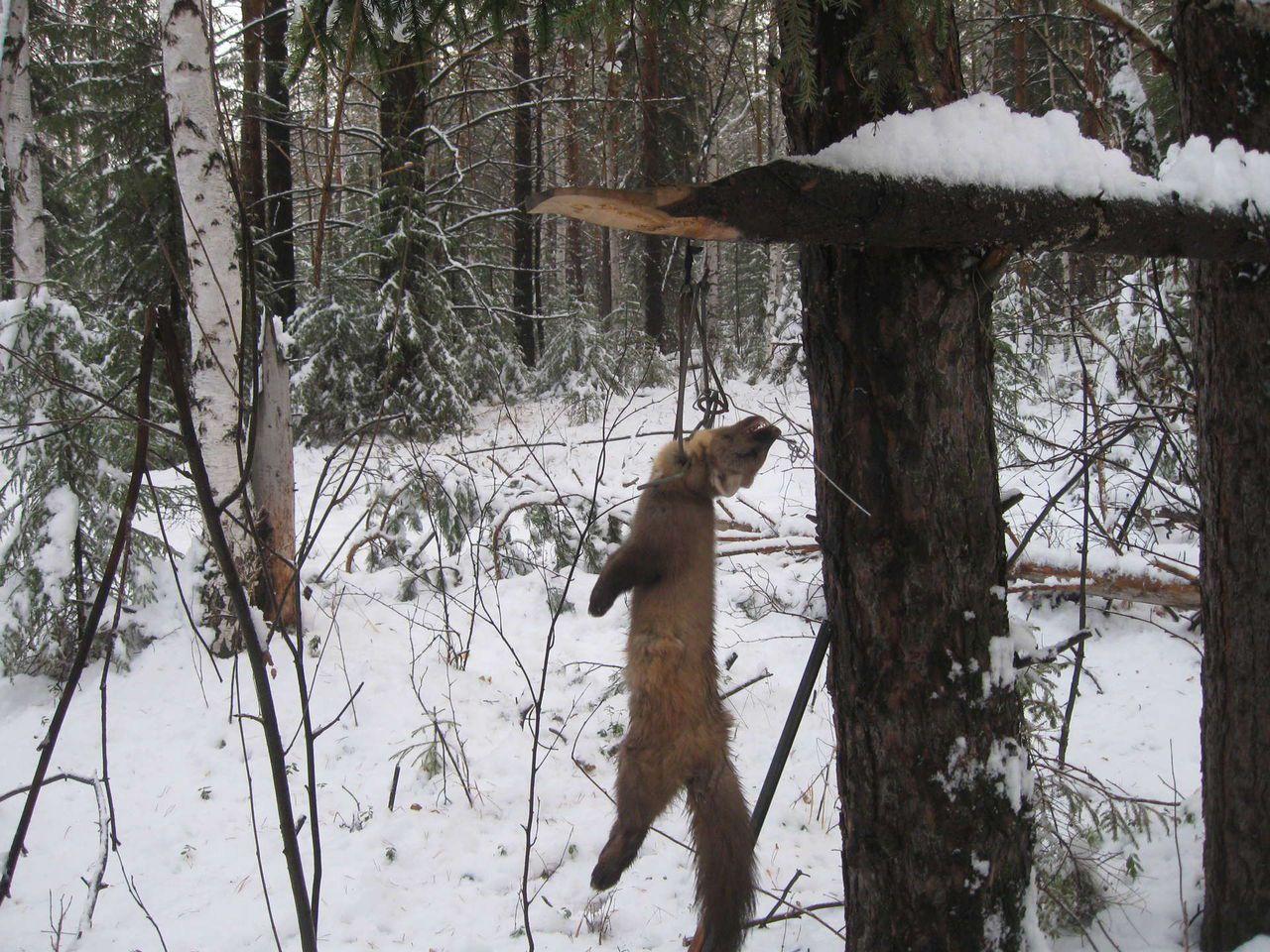 Капкан для охоты на куньих