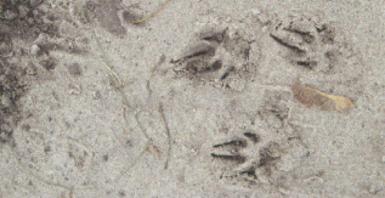 Следы хорька на песке