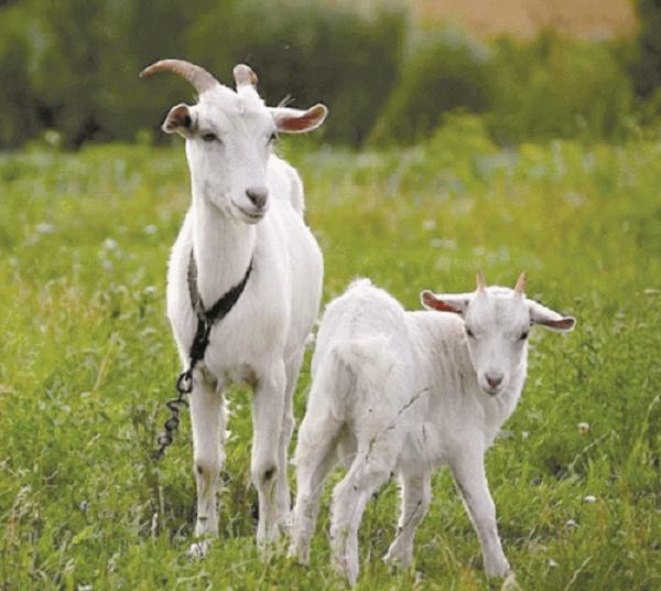 Козы тяжело переживают разлуку с козлятами в течение первого месяца после окота