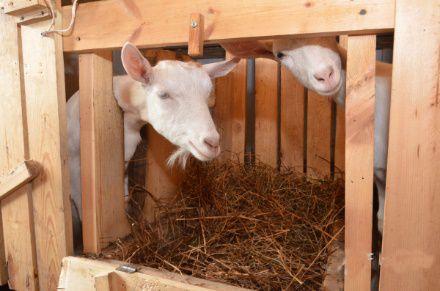 Загоны для коз