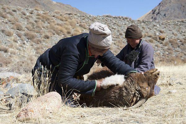 Процесс вычесывания шерсти у козПроцесс вычесывания шерсти у коз