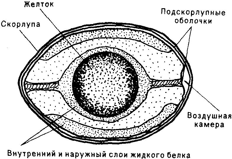 Внутреннее строение яйца