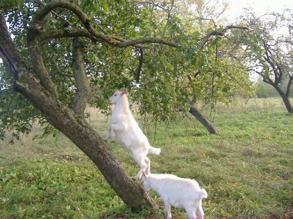Активно живущие козы приносят гораздо больше молока, чем постоянно находящиеся в сарае