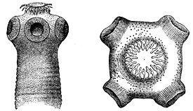 Паразит активно размножается даже при наличии одной-единственной особи