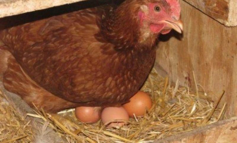 Несется ли курица без петуха?