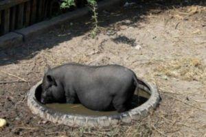 Вьетнамская свинка принимает грязевые ванны