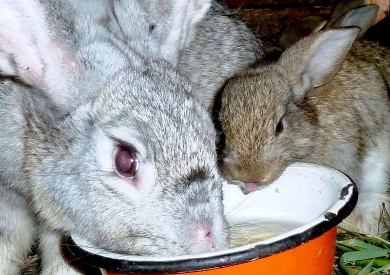 Байкокс для кроликов разводят в поилке