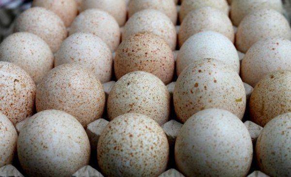 За сезон индюшка несет около 25 яиц